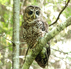 Spotted owl resting in a tree.jpg